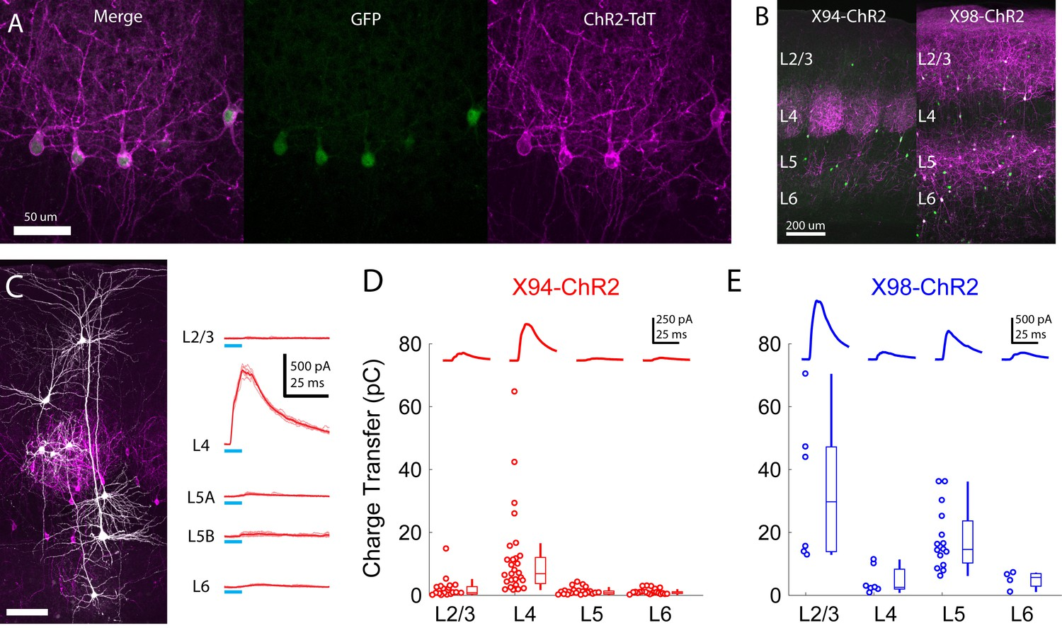 Complementary networks of cortical somatostatin interneurons enforce
