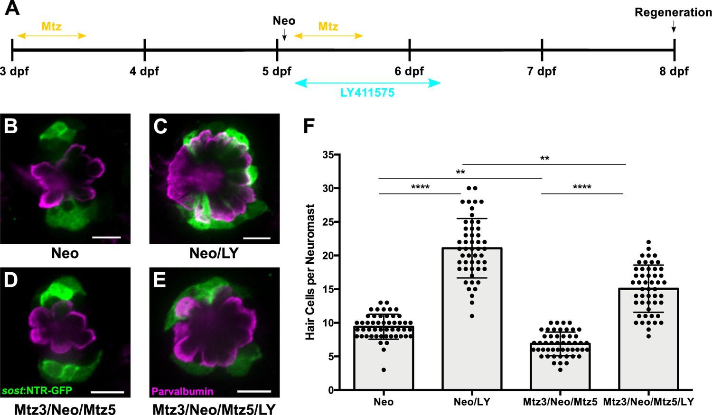 Distinct progenitor populations mediate regeneration in the