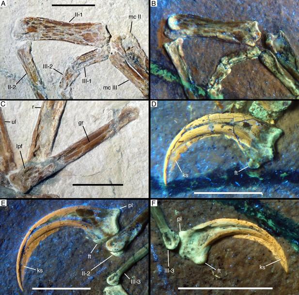Alcmonavis fossil