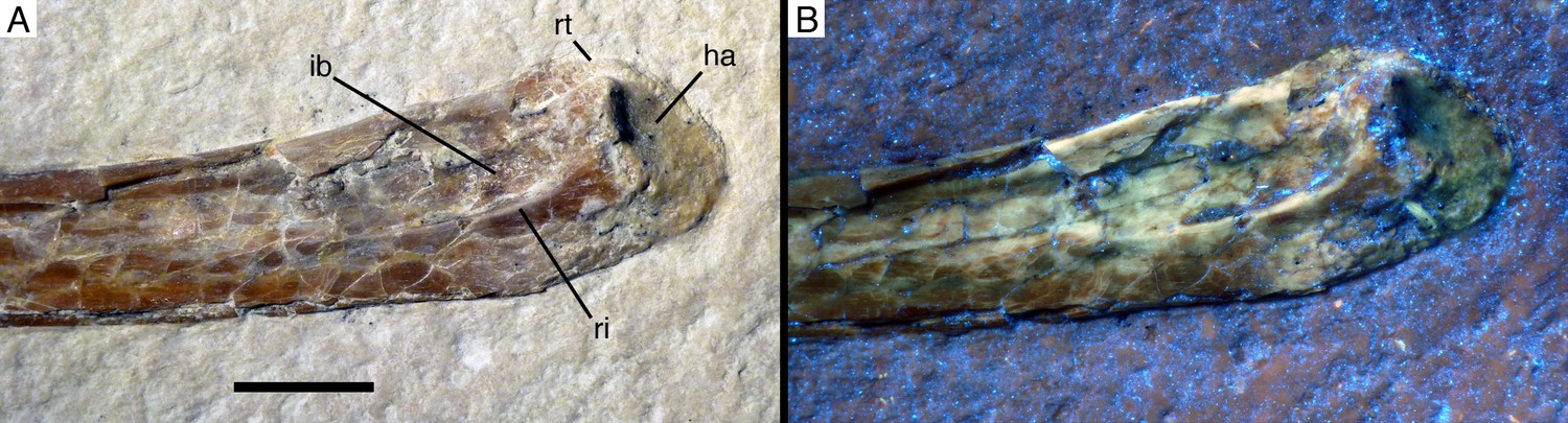 A non-archaeopterygid avialan theropod from the Late