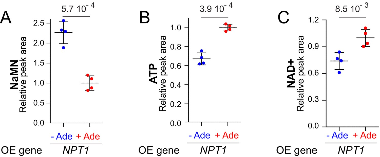 Dual control of NAD+ synthesis by purine metabolites in