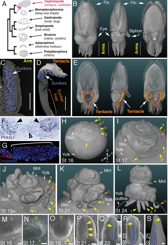 Evolution of limb development in cephalopod mollusks | eLife