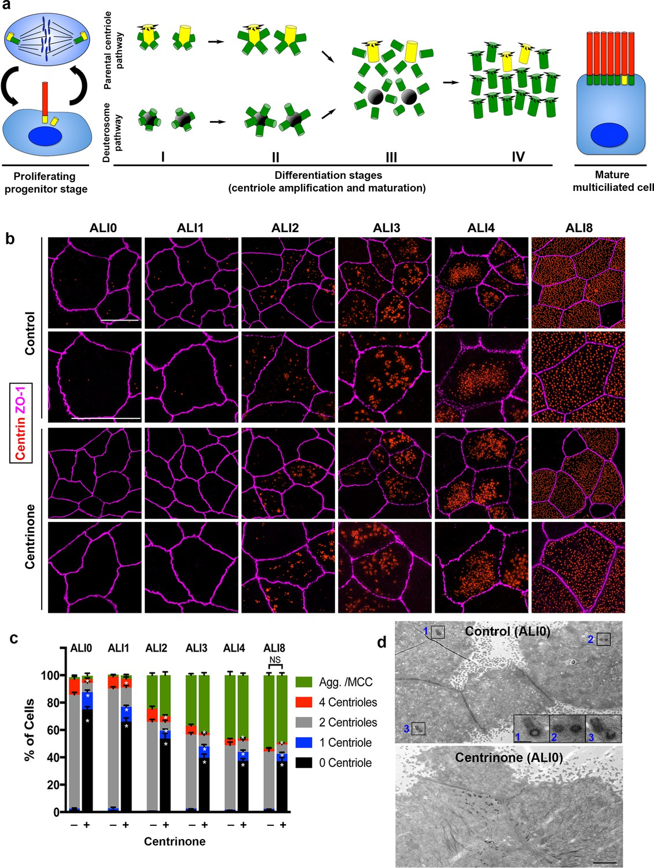 Regulation of cilia abundance in multiciliated cells | eLife