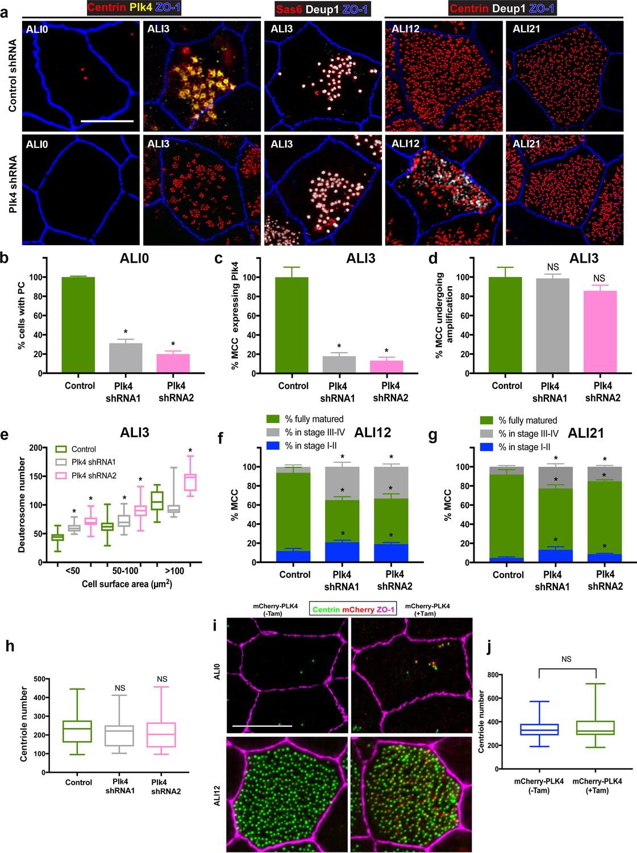 Regulation of cilia abundance in multiciliated cells   eLife