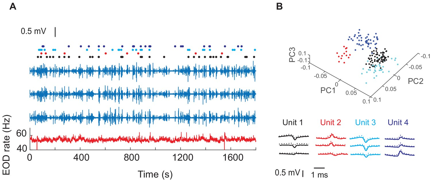 Neural activity in a hippocampus-like region of the teleost pallium