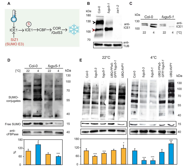 Pyrophosphate modulates plant stress responses via