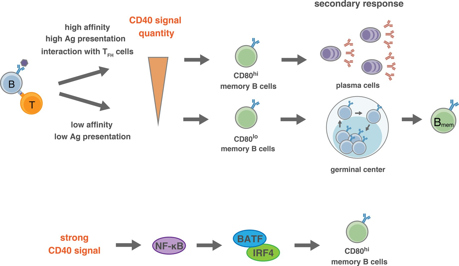 The quantity of CD40 signaling determines the