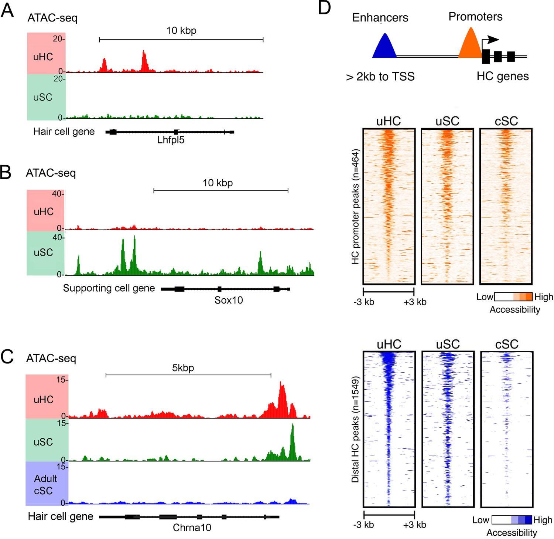 Transcriptomic and epigenetic regulation of hair cell