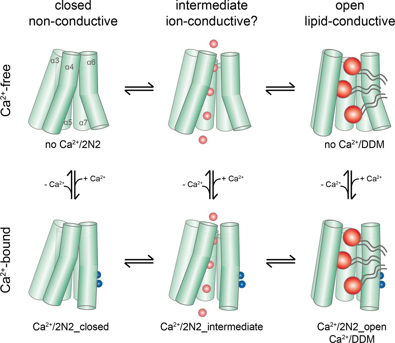 Stepwise activation mechanism of the scramblase nhTMEM16