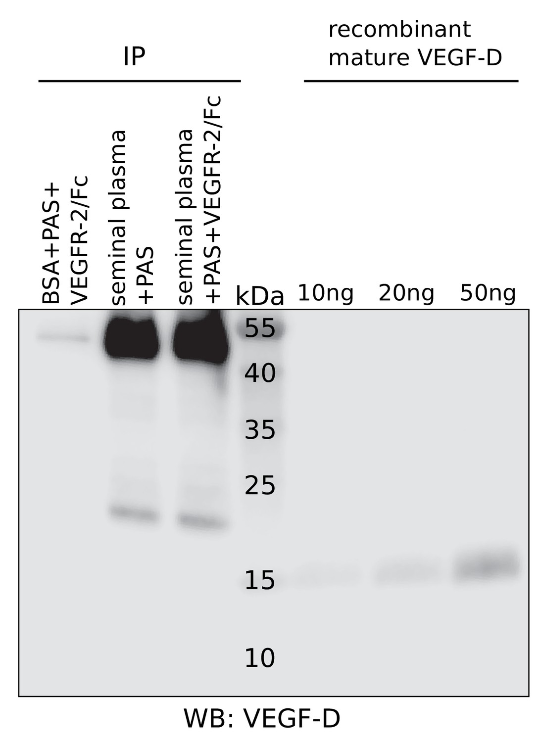Figures and data in KLK3/PSA and cathepsin D activate VEGF-C