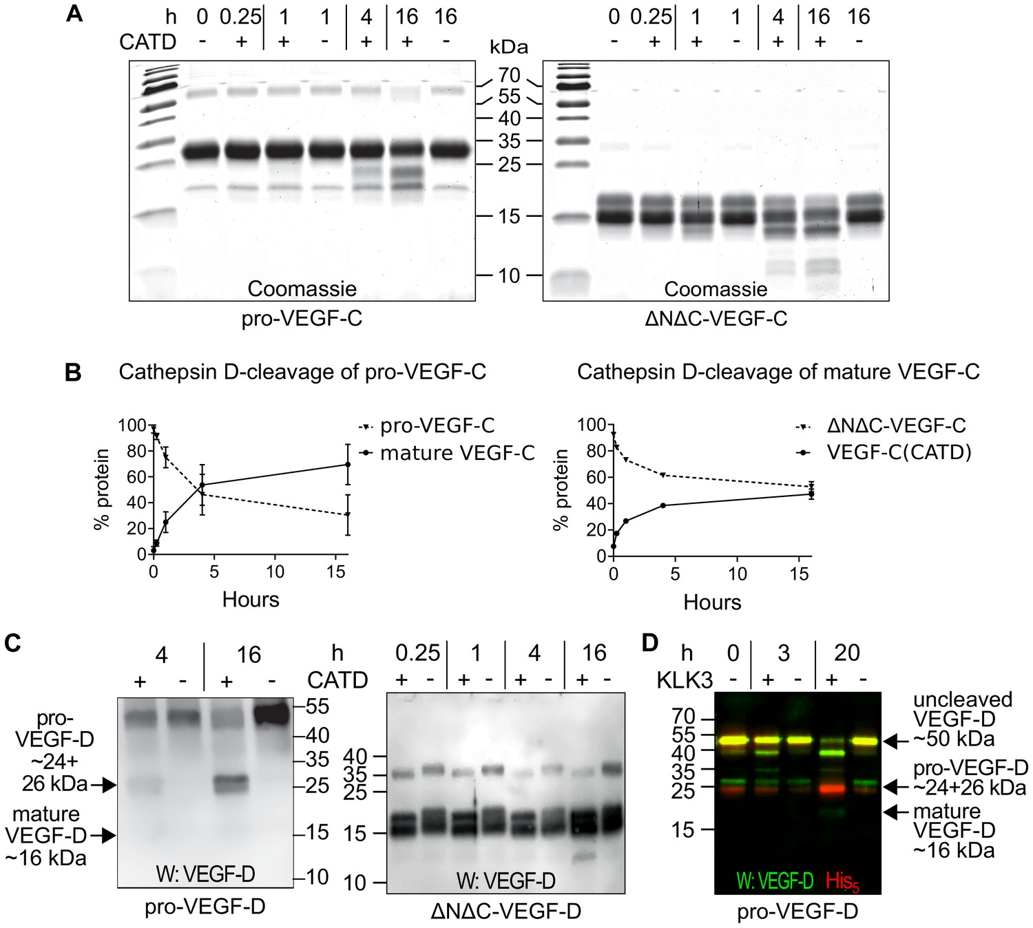 KLK3/PSA and cathepsin D activate VEGF-C and VEGF-D | eLife
