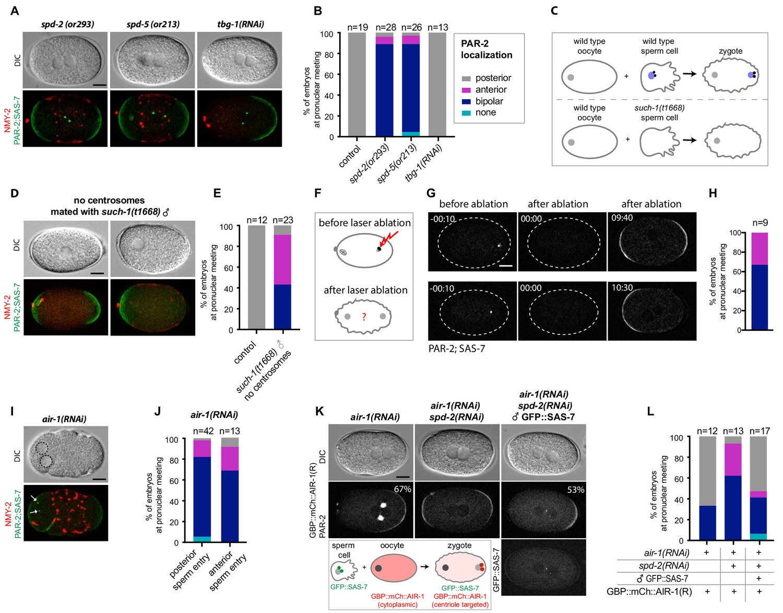 Aurora A depletion reveals centrosome-independent