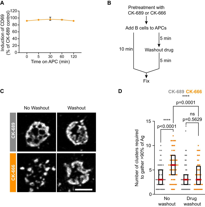 Arp2/3 complex-driven spatial patterning of the BCR enhances immune