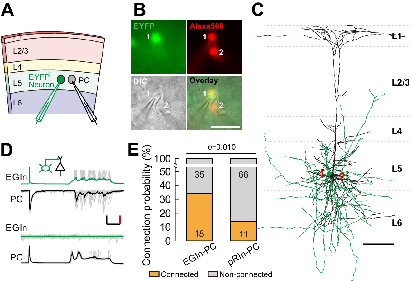Early-generated interneurons regulate neuronal circuit ... on
