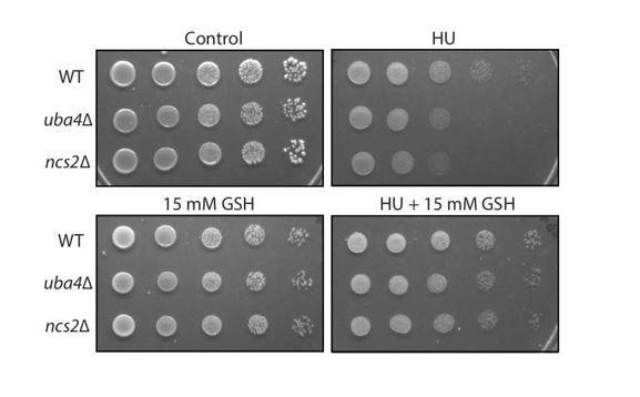 A tRNA modification balances carbon and nitrogen metabolism
