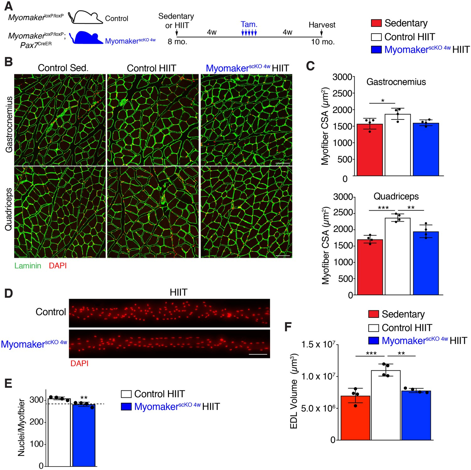 Myonuclear accretion is a determinant of exercise-induced