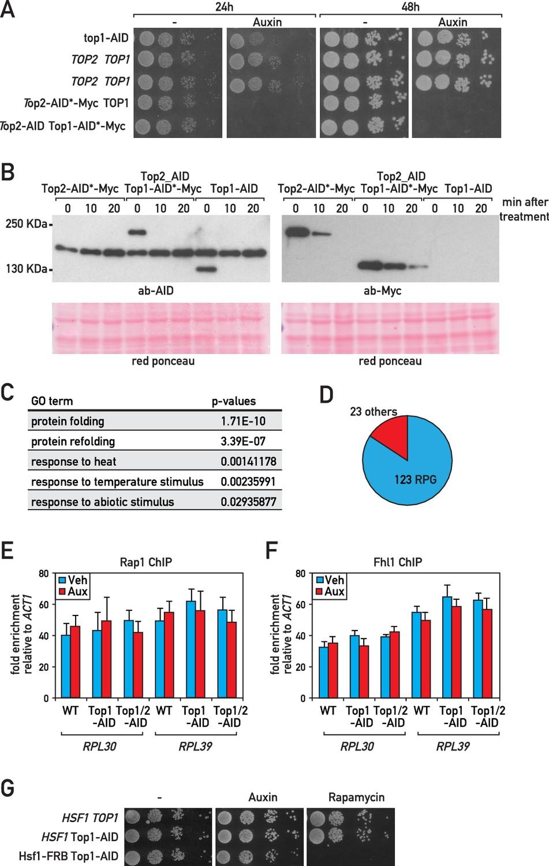 A ribosome assembly stress response regulates transcription to