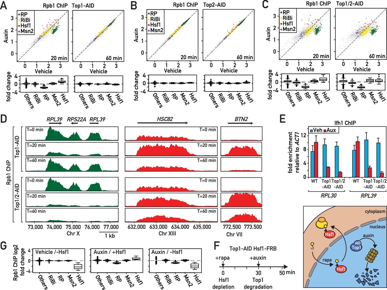 A ribosome assembly stress response regulates transcription