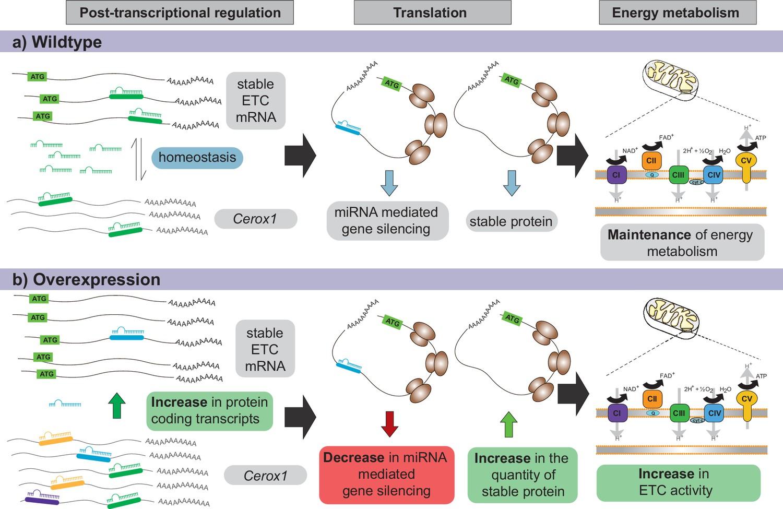 The long non-coding RNA Cerox1 is a post transcriptional regulator