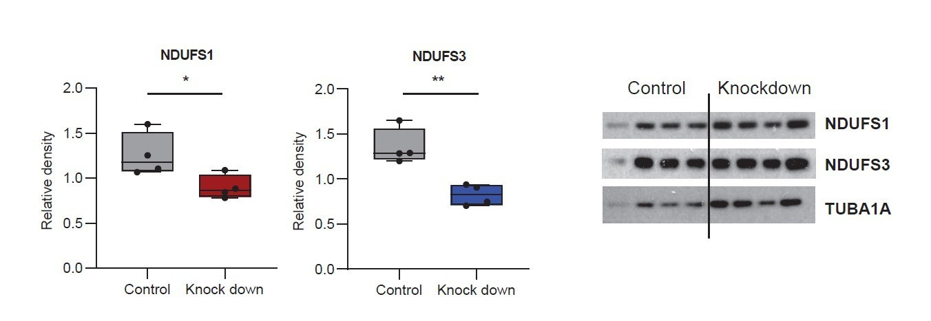 The long non-coding RNA Cerox1 is a post transcriptional