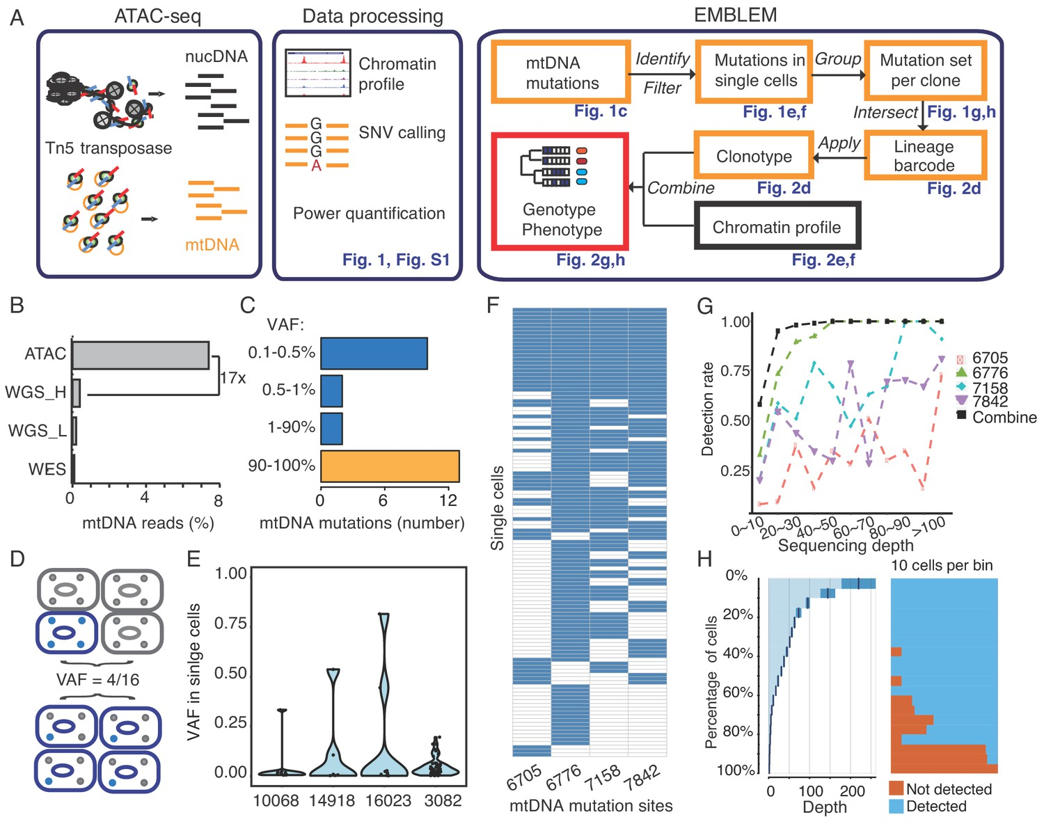 Single-cell lineage tracing by endogenous mutations enriched