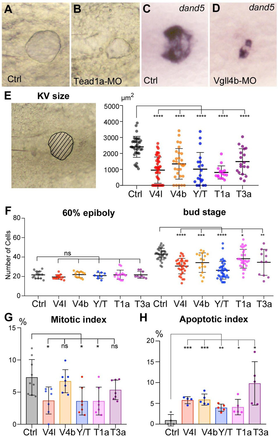 TEADs, Yap, Taz, Vgll4s transcription factors control the