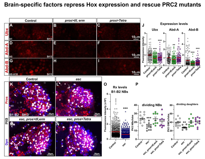 Anterior CNS expansion driven by brain transcription factors | eLife