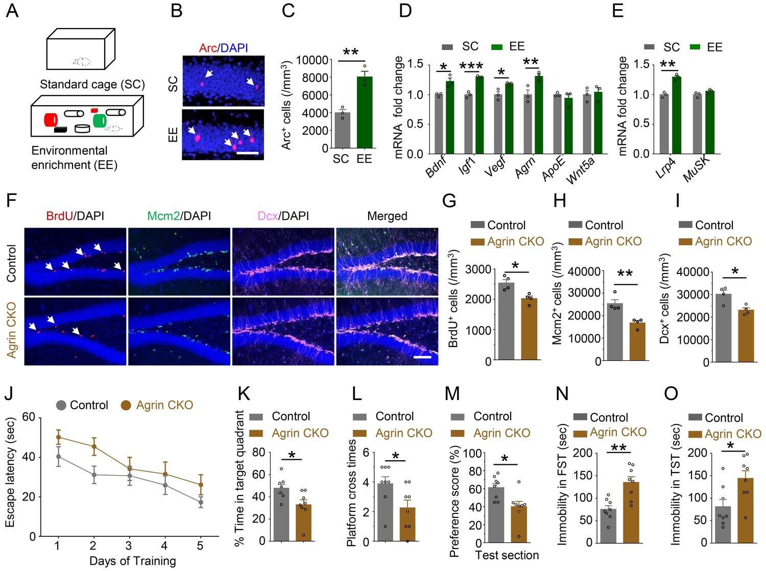 Agrin-Lrp4-Ror2 signaling regulates adult hippocampal