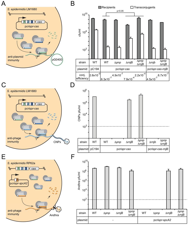 A type III-A CRISPR-Cas system employs degradosome nucleases
