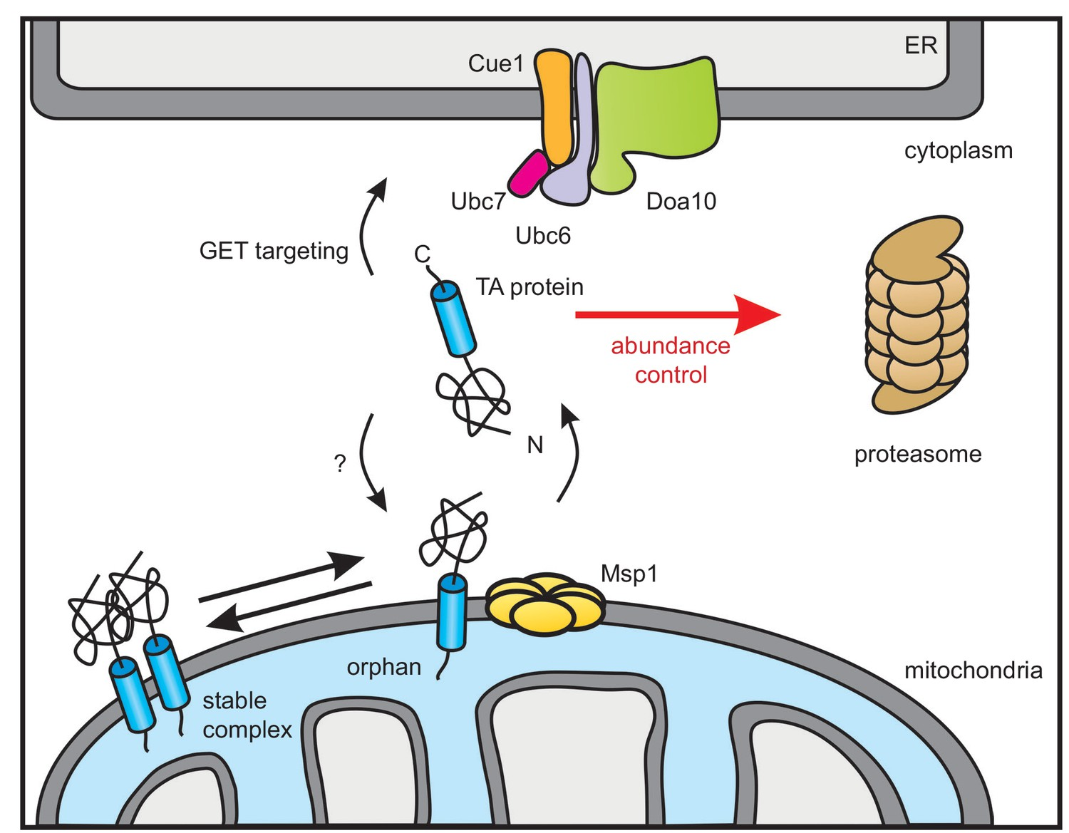 Cooperation of mitochondrial and ER factors in quality
