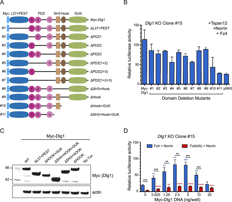 Dlg1 activates beta-catenin signaling to regulate retinal