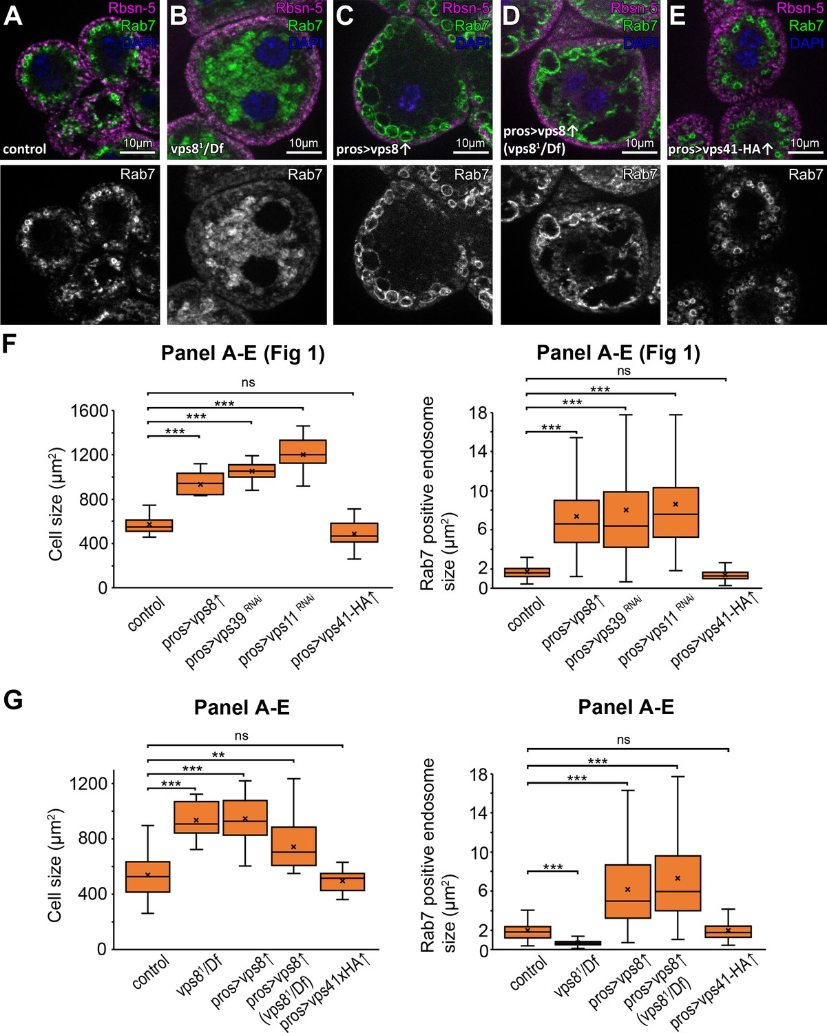 Vps8 overexpression inhibits HOPS-dependent trafficking routes by