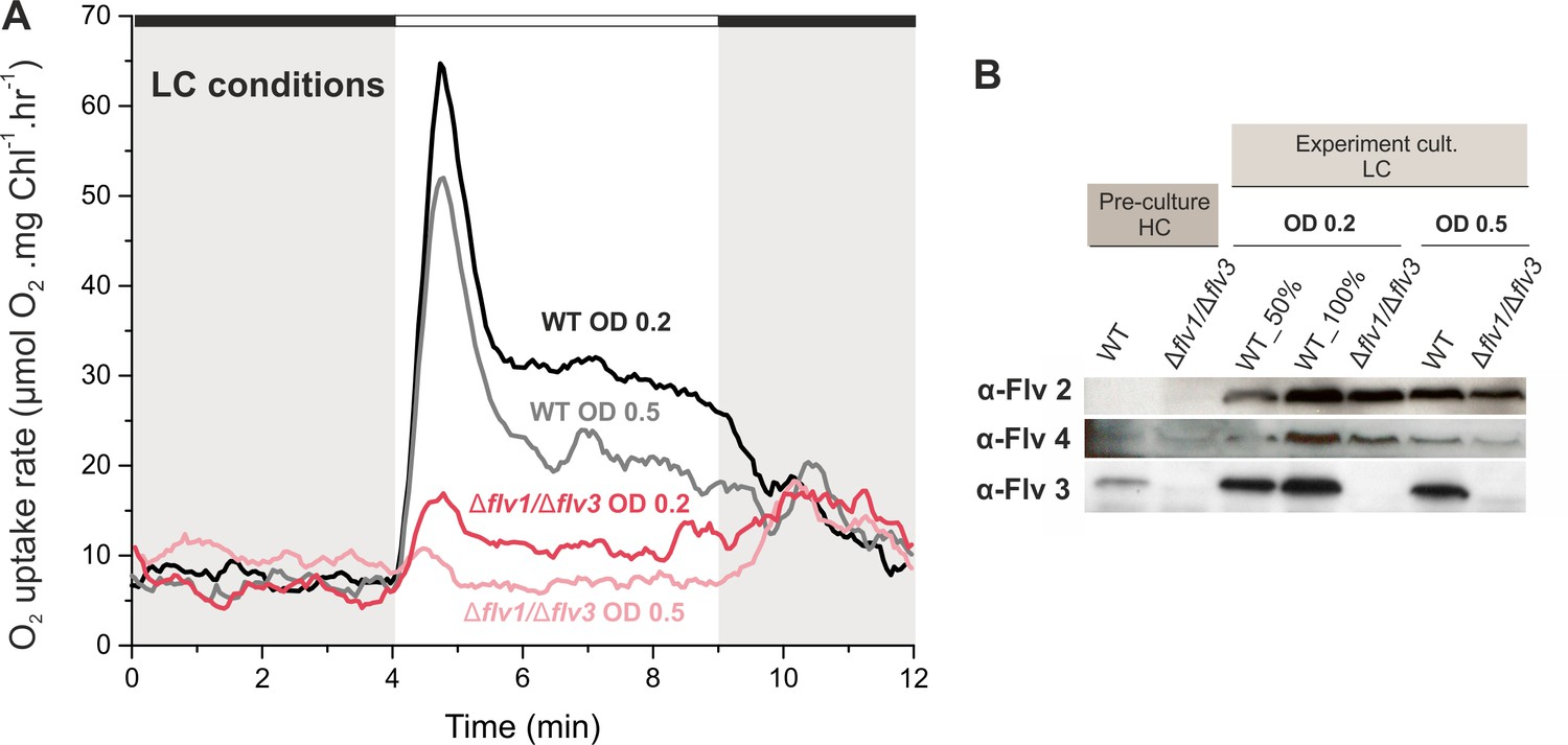 Flavodiiron proteins 1–to-4 function in versatile