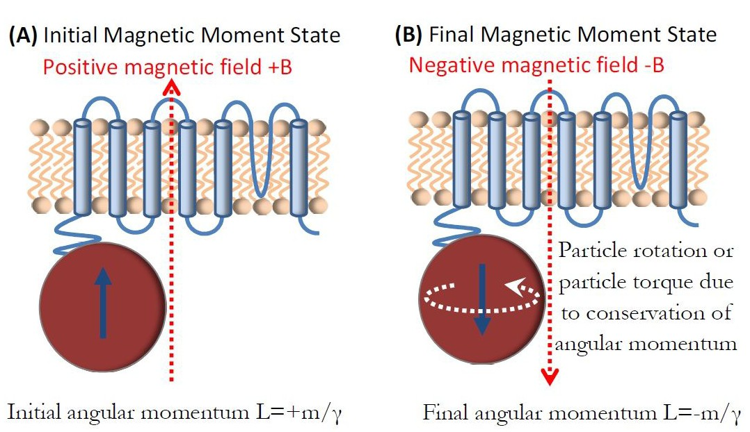 Possible Magneto Mechanical And Magneto Thermal Mechanisms