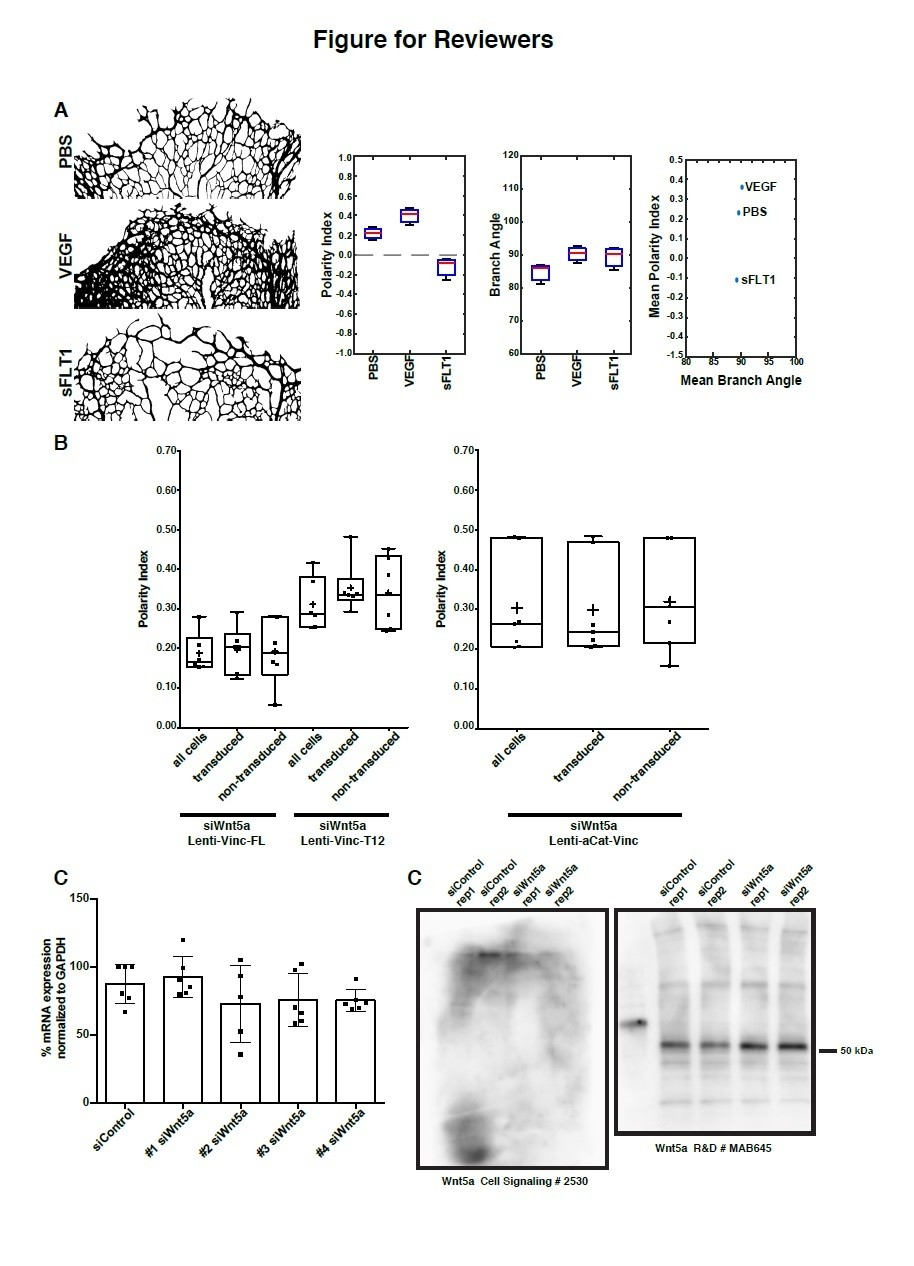 Non-canonical Wnt signaling regulates junctional