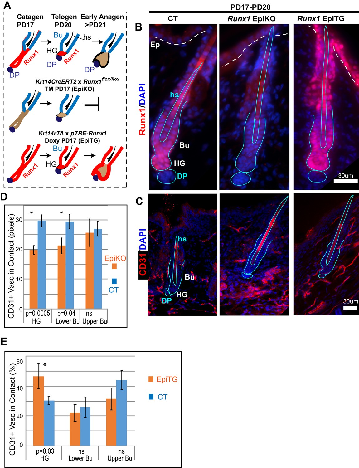 Skin vasculature and hair follicle cross-talking associated