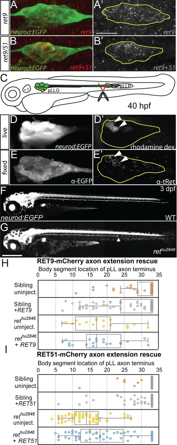 Retrograde Ret signaling controls sensory pioneer axon