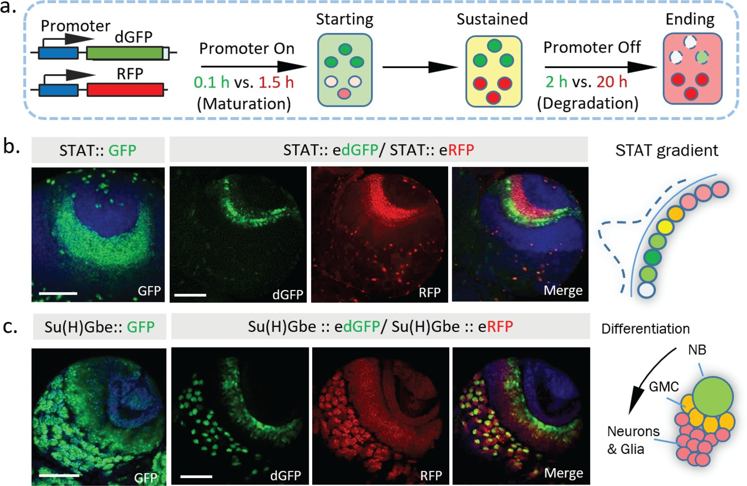 In vivo study of gene expression with an enhanced dual-color