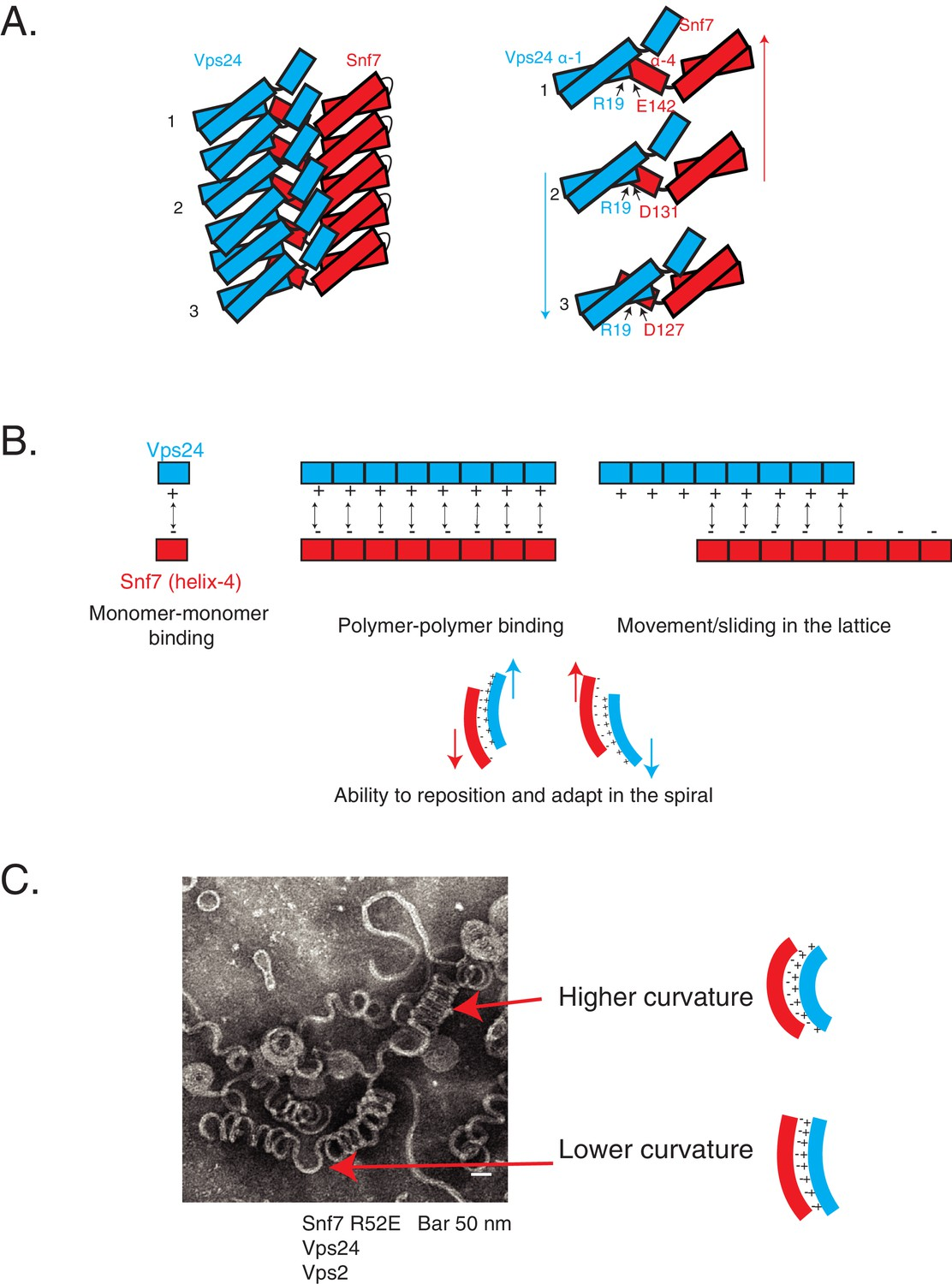 Electrostatic lateral interactions drive ESCRT-III