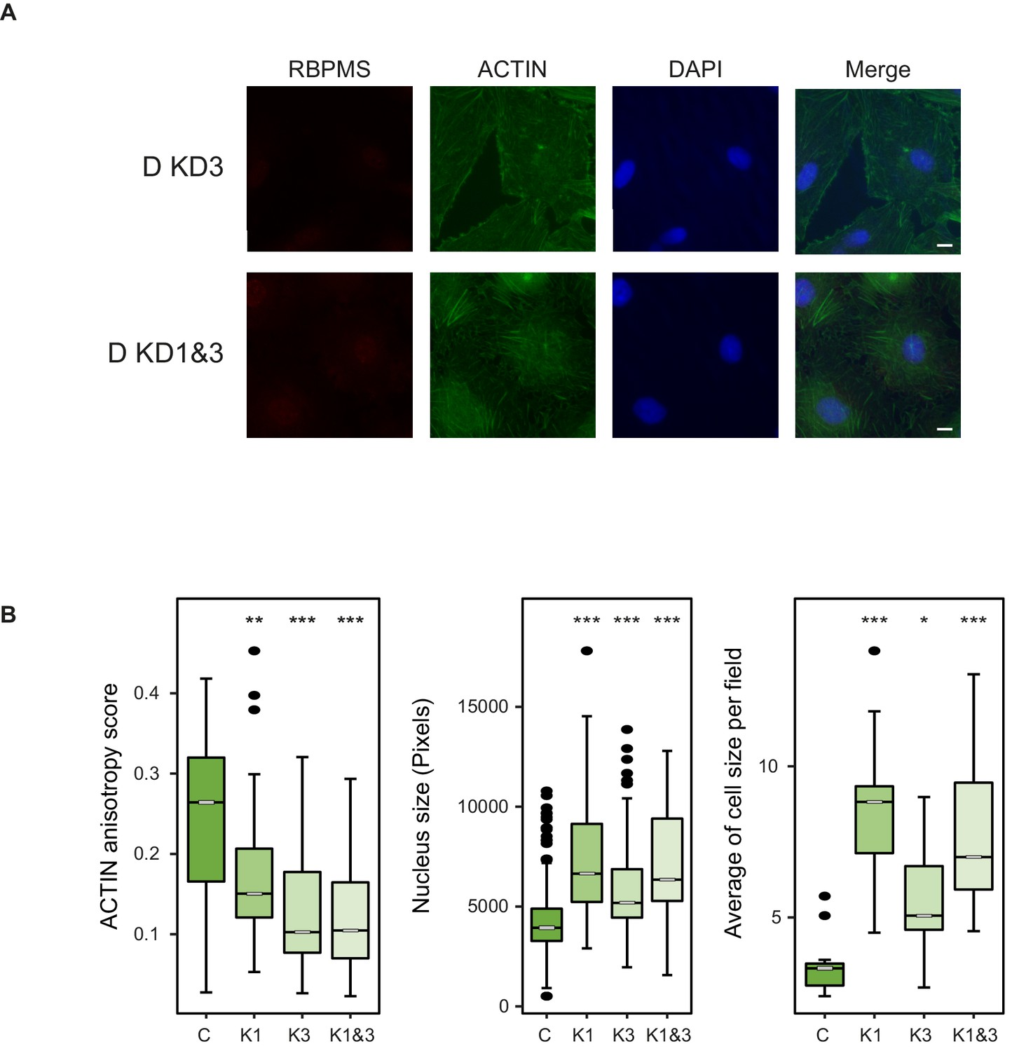 Identification of RBPMS as a mammalian smooth muscle master