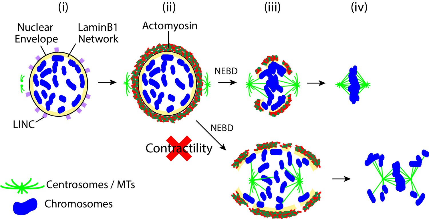 Contractile acto-myosin network on nuclear envelope remnants