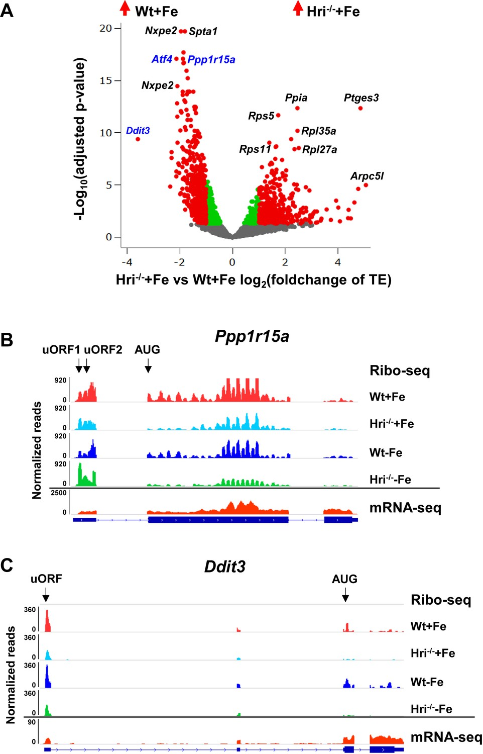 HRI coordinates translation necessary for protein homeostasis and