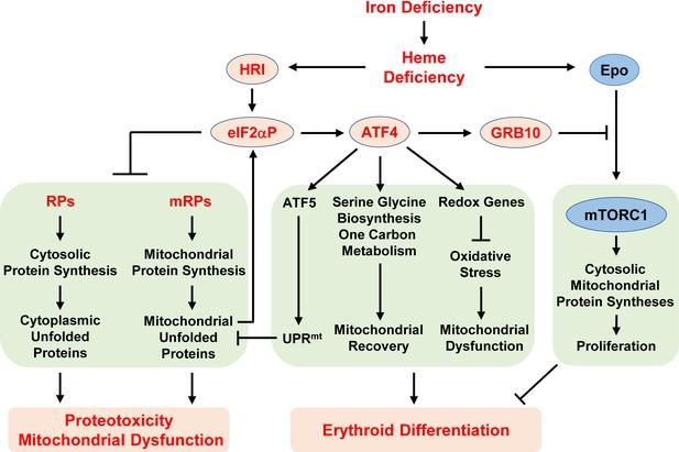 Hri Coordinates Translation Necessary For Protein