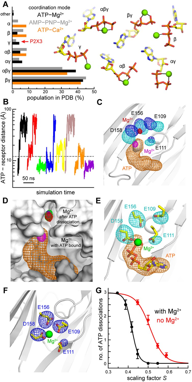 Molecular mechanisms of human P2X3 receptor channel