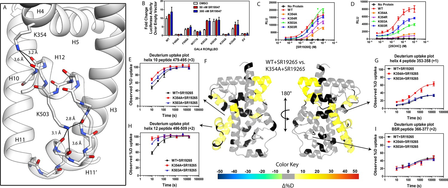 HDX-MS reveals structural determinants for RORγ