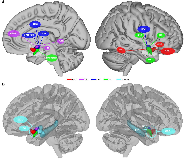 Characterizing functional pathways of the human olfactory