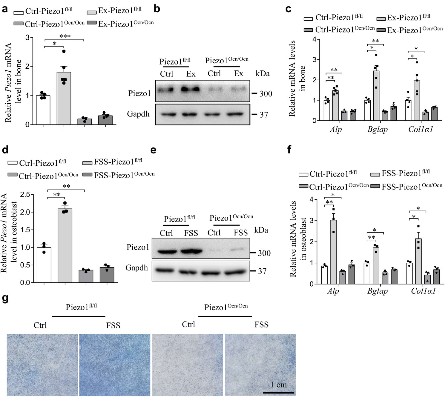 The mechanosensitive Piezo1 channel is required for bone