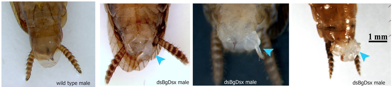 Hemimetabolous Insects Elucidate The Origin Of Sexual Development Via Alternative Splicing Elife
