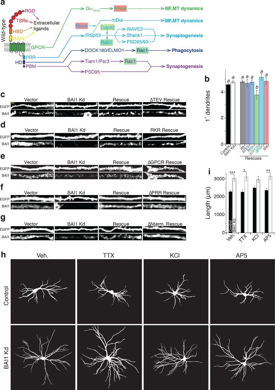 The adhesion-GPCR BAI1 shapes dendritic arbors via Bcr