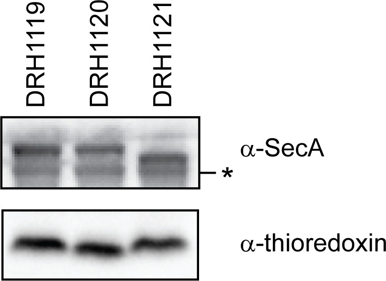The C-terminal tail of the bacterial translocation ATPase SecA
